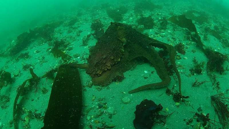 GIANT PACIFIC OCTOPUS.  Keystone Jetty, Whidbey Island. September 29, 2012