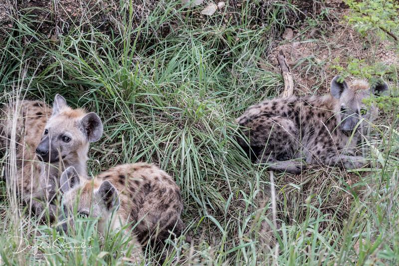 Hyaena Pups in their Den