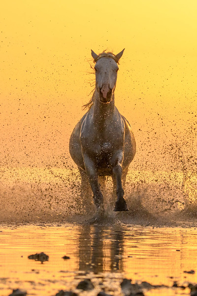Galloping Camargue White Horse golden light.
