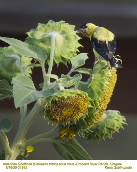 American Goldfinch M31845.jpg
