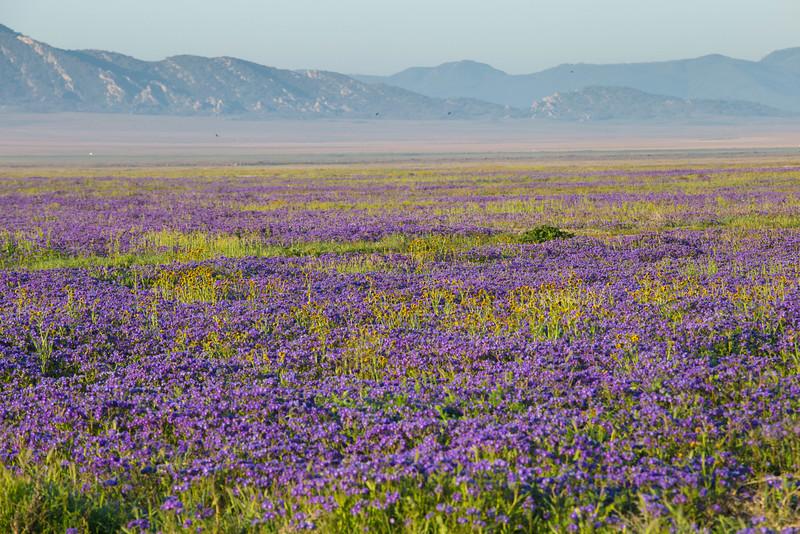 Purple flower field.jpg