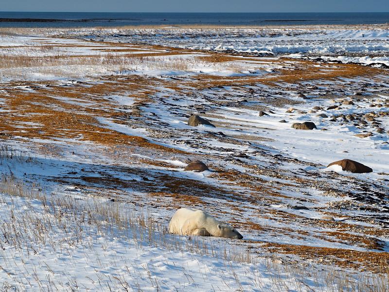 Sleeping polar bear in Manitoba