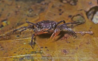 South East Asia Sesarmidae (Terrestrial Crabs, Land Crabs, Freshwater Crabs)