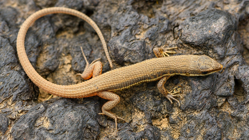 Lizard-Kaas-Satara.jpg
