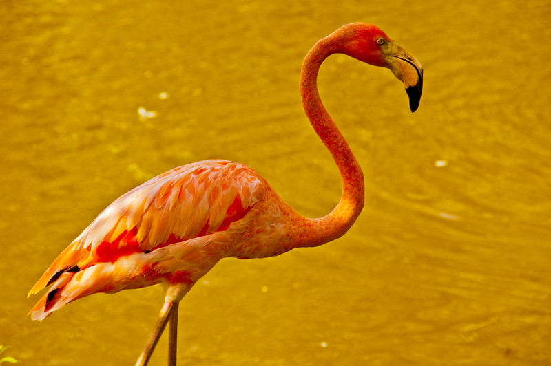 Flamingoes are pink because of their diet...mostly shrimp.