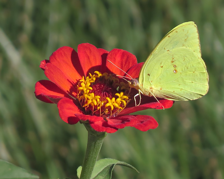 sx50_butterfly_sulfur_flora_zinnia_217.jpg