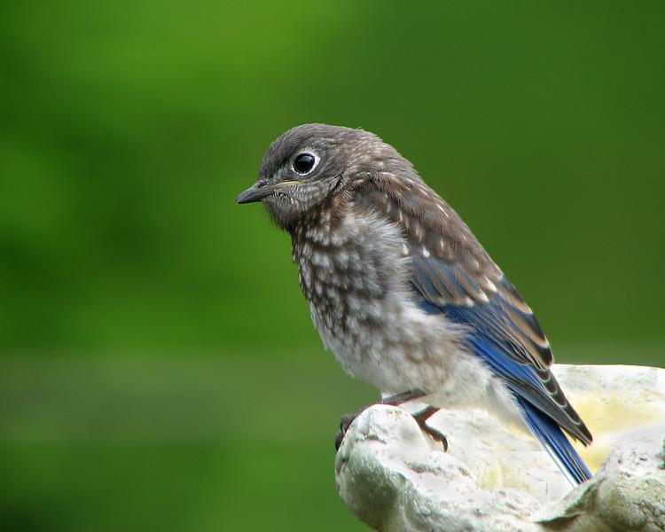 bluebird_fledgling_7684.jpg