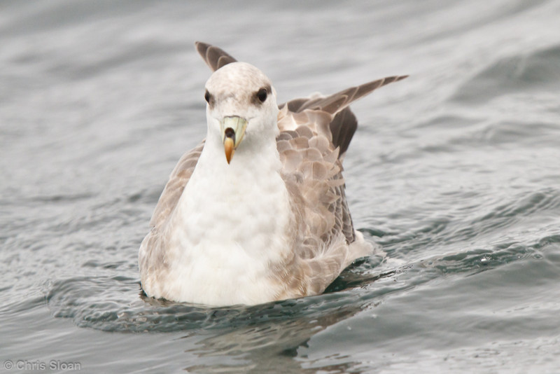 Northern Fulmar at pelagic out of Bodega Bay, CA (10-15-2011) - 902.jpg