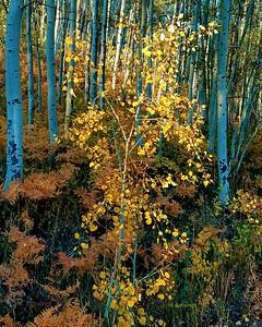 Highlighted aspen tree