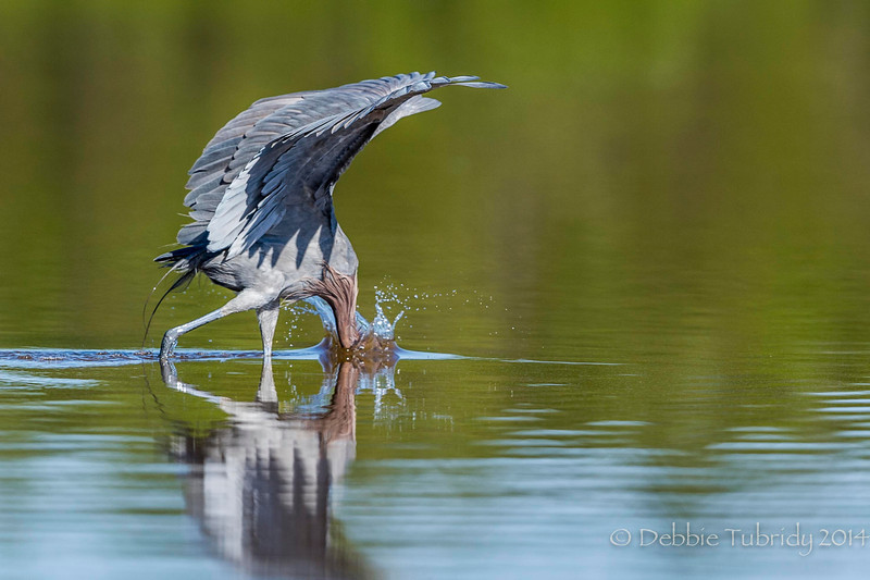 Reddish Egret Feeding  Eco Pond, Everglades National Park Florida © 2014