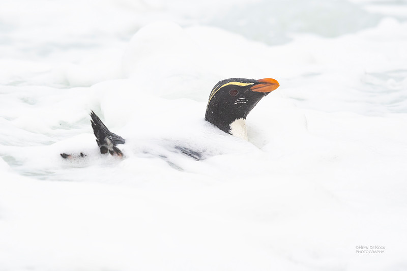 Fiordland Crested Penguin, Haast, SI, NZ, Aug 2018-13.jpg