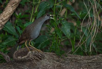 Pale-vented Bush-hen (Amaurornis moluccana)