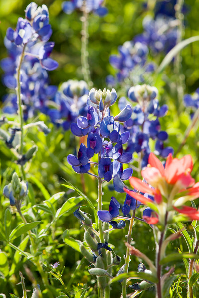 2016_4_9 Texas Wildflower Shoot-8906.jpg
