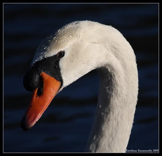 Mute Swan, Lake Murray, San Diego County, California, January 2009