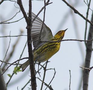 2014 Warblers Plus - LaBagh Woods