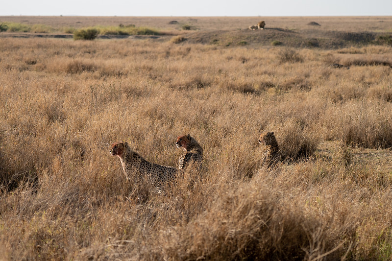 Cheetahs in the Serengeti