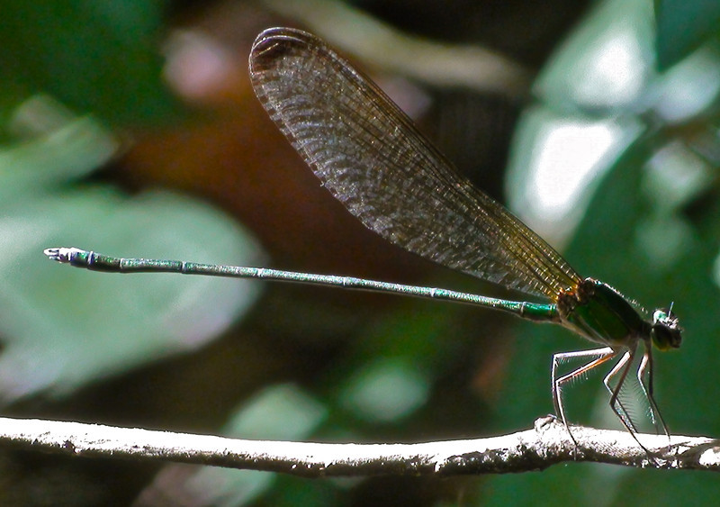 Helicopter Damselfly, Vietnam forests