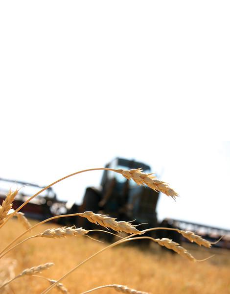 http://www.dreamstime.com/stock-photos-wheatgrass-image14286193