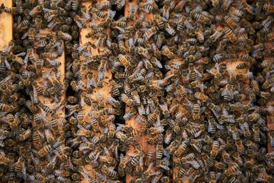 August - Honeybees