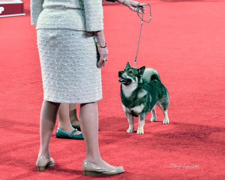 Swedish Vallhund - GCH CH Kingscrest Star Of The New Year