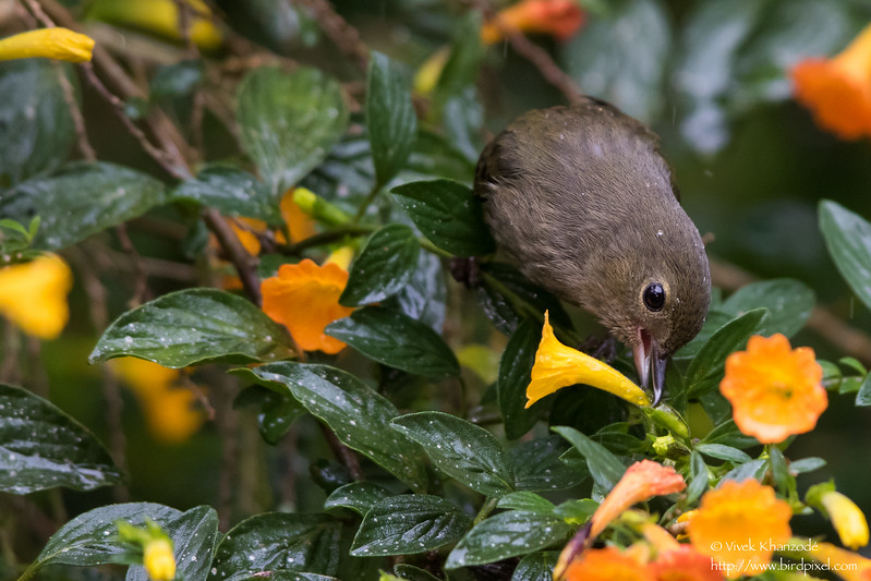 Slaty Flowerpiercer - Female - Los Quetzales Lodge, Guadalupe, Panama