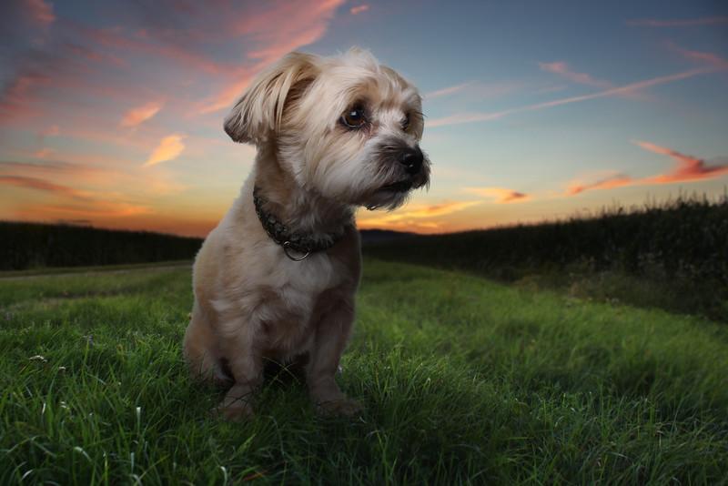 Roxboro-chien-6.jpg