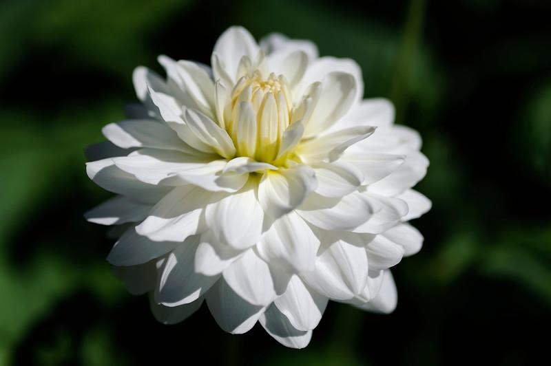 Krysanteum.jpg
