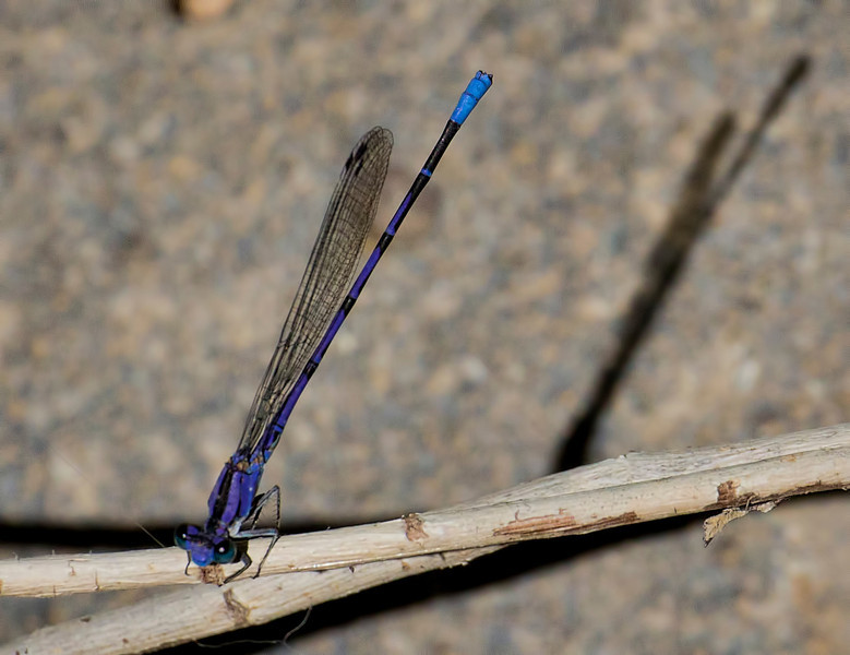 Springwater Dancer, Argia plana, male, Spur Cross Recreation Area, Maricopa County