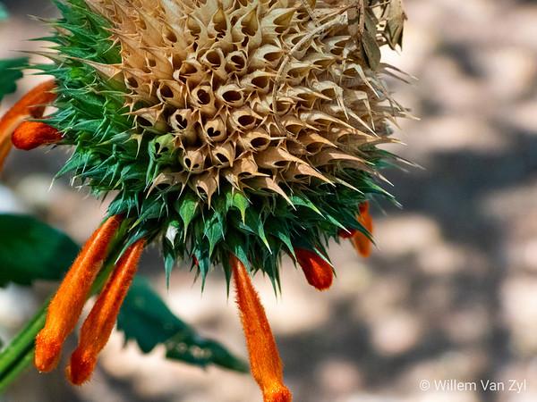 Wild Dagga (Leonotis leonurus)