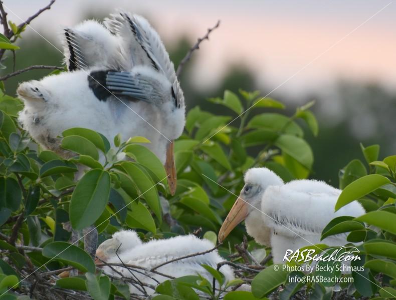 Wood Stork in the Wakodahatchee Wetlands, Palm Beach