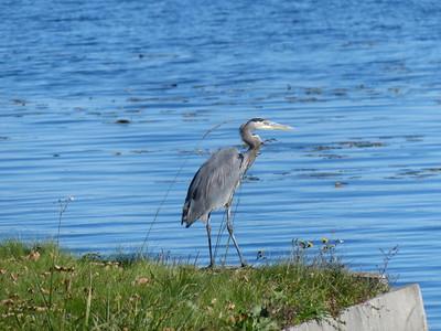 20141023 Great Blue Heron