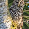 Barred Owl - Dinner Island Ranch WMA - March 2014
