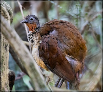 [Menuridae]    Lyrebirds