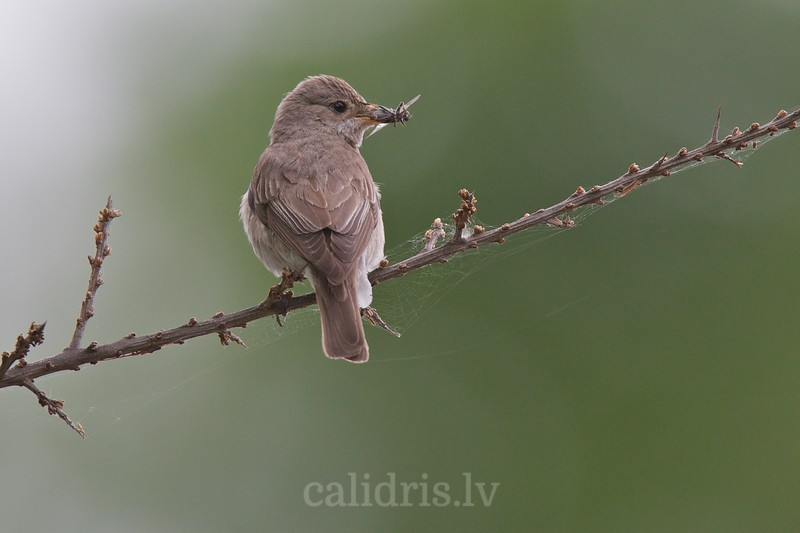 Spotted Flycatcher perched on a branch with fly in the beak
