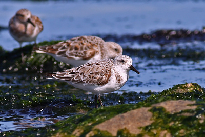 Other Shore Birds