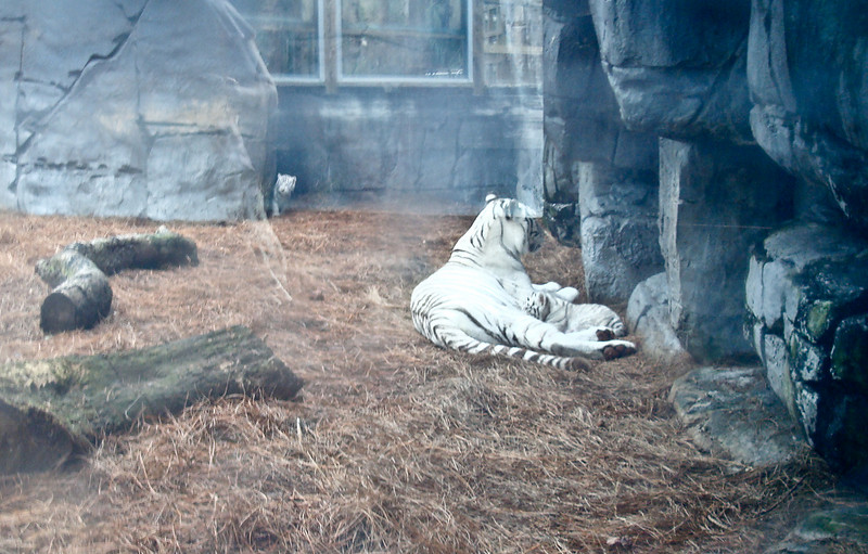 White tiger with her new cubs