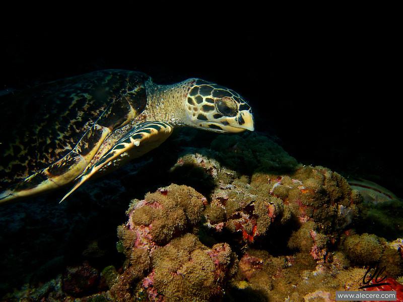 Hawksbill turtle on its way to breakfast