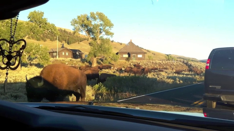 Bison in Yellowstone 2010.