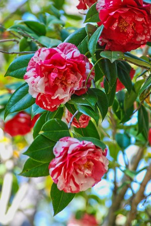 A variegated camellia at Dorothy Oven Park