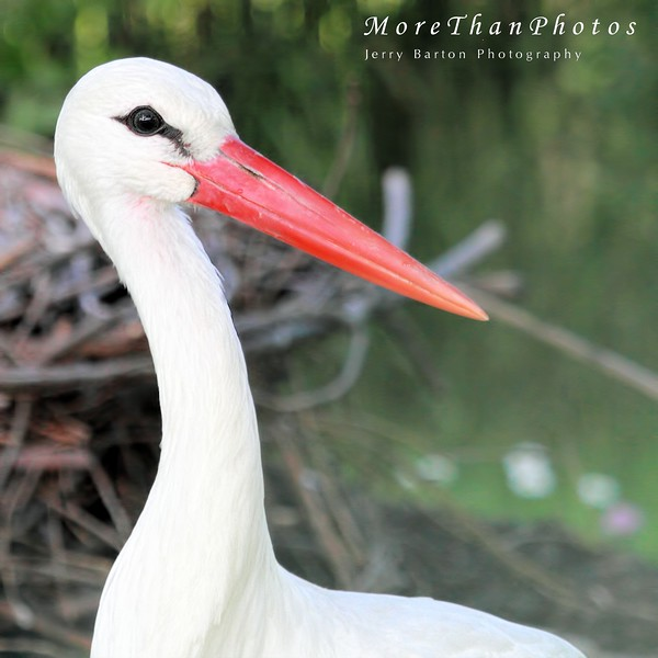 Winter Stork