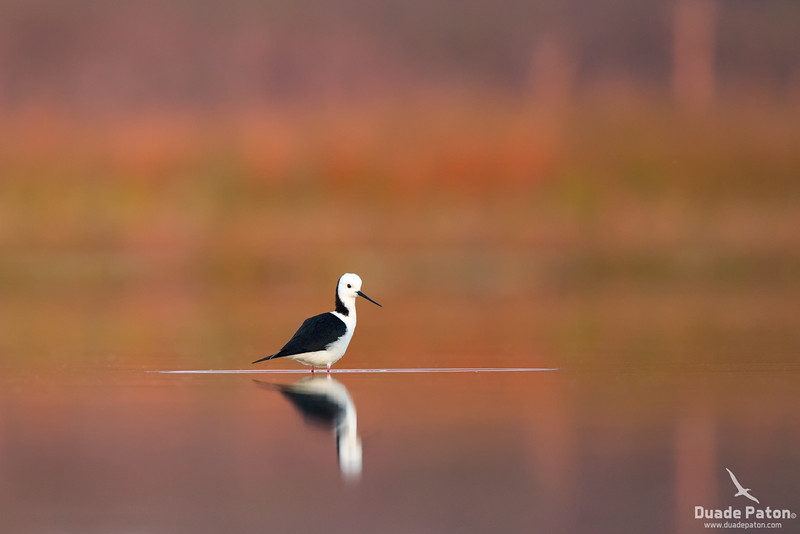 146-Black-winged-Stilt-Lake-Wollumboola,NSW-51014.jpg