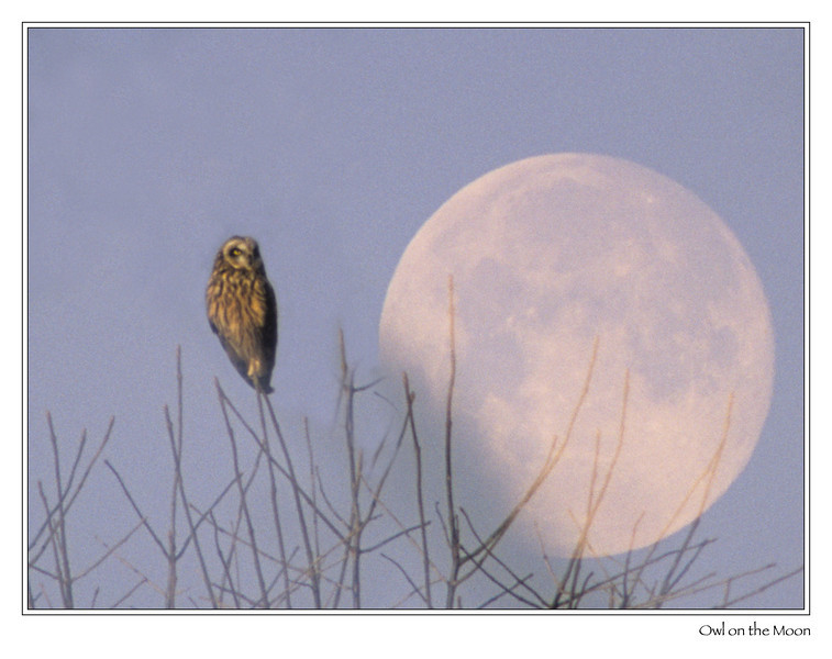 Short-eared Owl  An accidental double exposure, with half of the frame being a moon rise just hours after my visit to see the visiting Short-eared Owls.