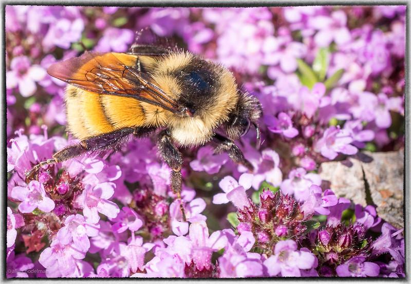 Bee on Creeping Thyme