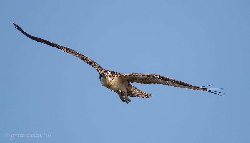 Osprey_M0I9196.jpg