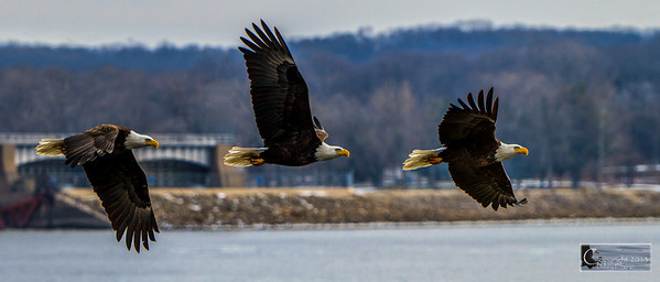 Eagles and other wildlife