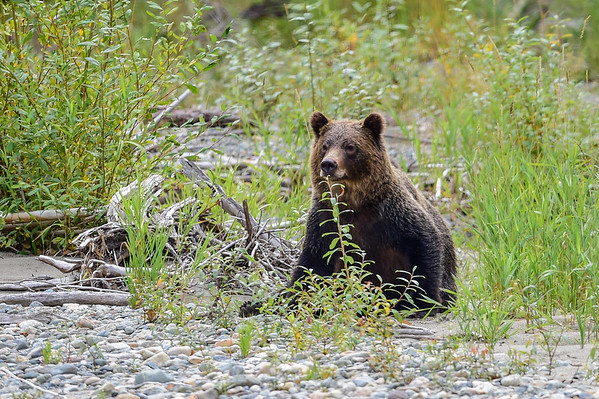 9-15-15 Young Male Grizzly