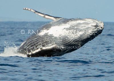 Maui - Feb 2009_Humpback Whales
