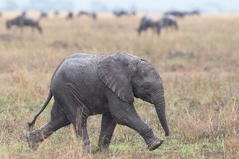 Serengeti_12_2013_baby_elephant_FH0T8575.jpg