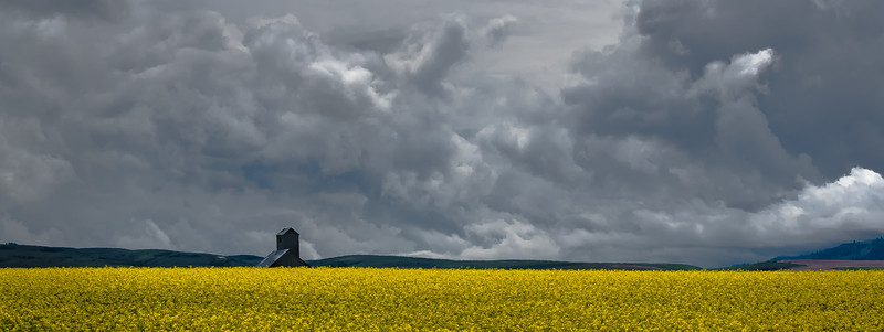 105.Jeff Armstrong.1.Canola field.jpg