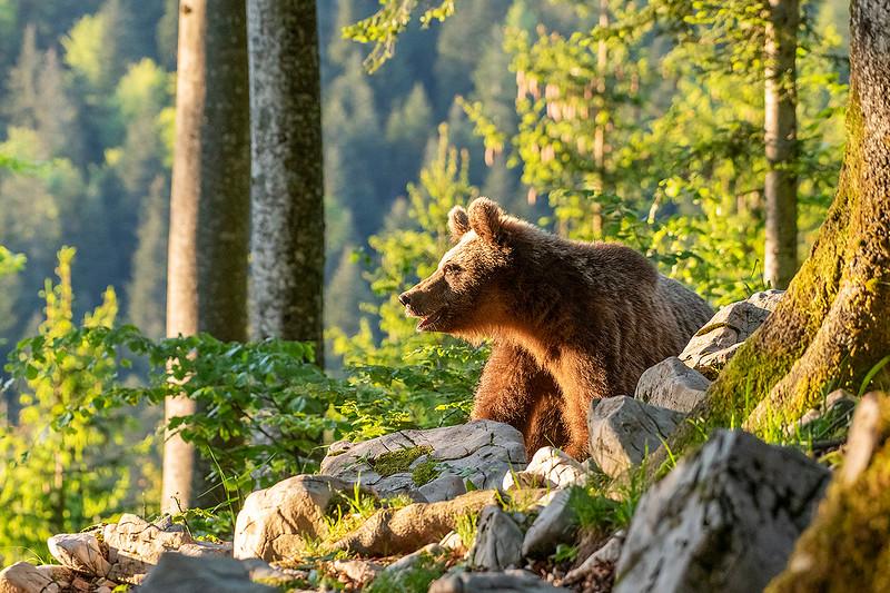 Europäischer Braunbär im Sonnenlicht.jpg